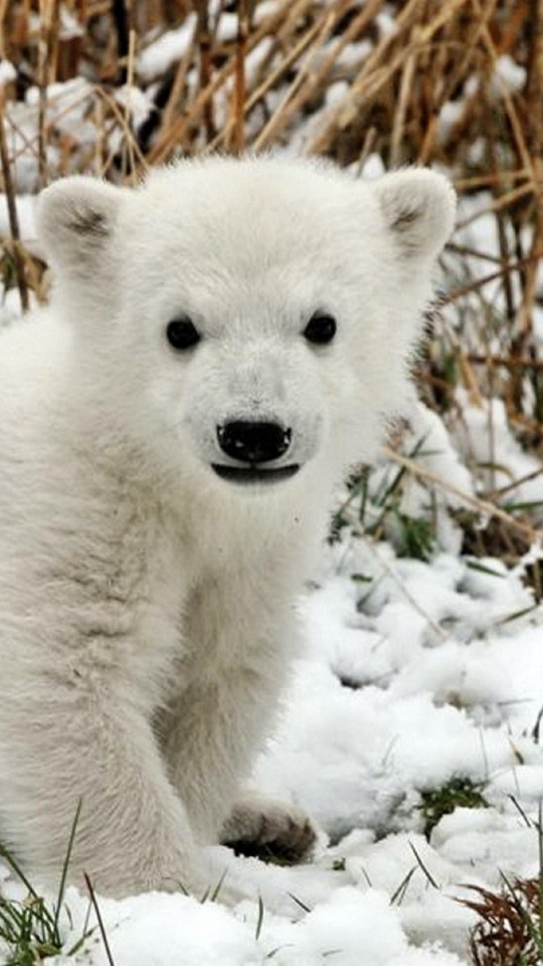 bear-polar-bear-cub-snow-grass-fear-wallpaper-wp3603072