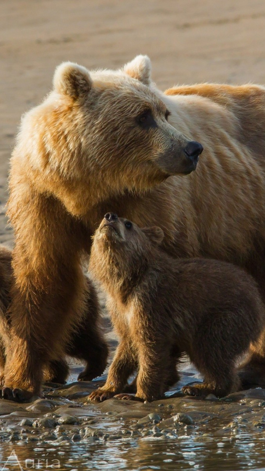 bears-cubs-family-sand-wallpaper-wp3603074