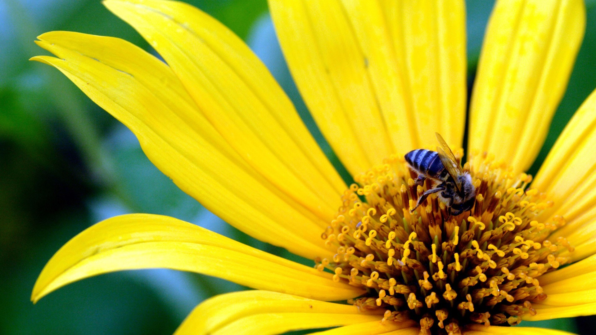 bees-flowers-yellow-yellow-flowers-1920x1080-1920×1080-wallpaper-wpc9002741