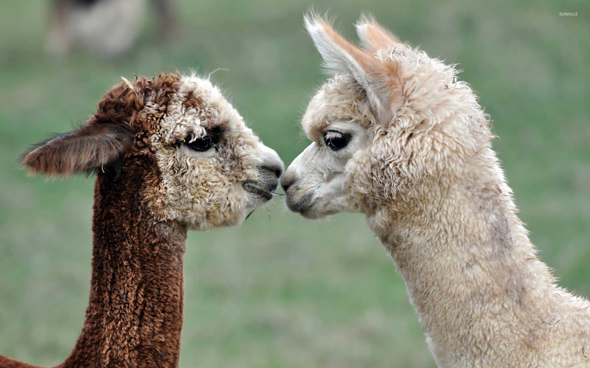 best-ideas-about-Llama-on-Pinterest-Fotos-wallpaper-wp3603261
