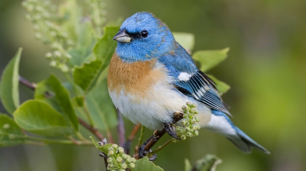 blue-bird-wallpaper-wpc9203107