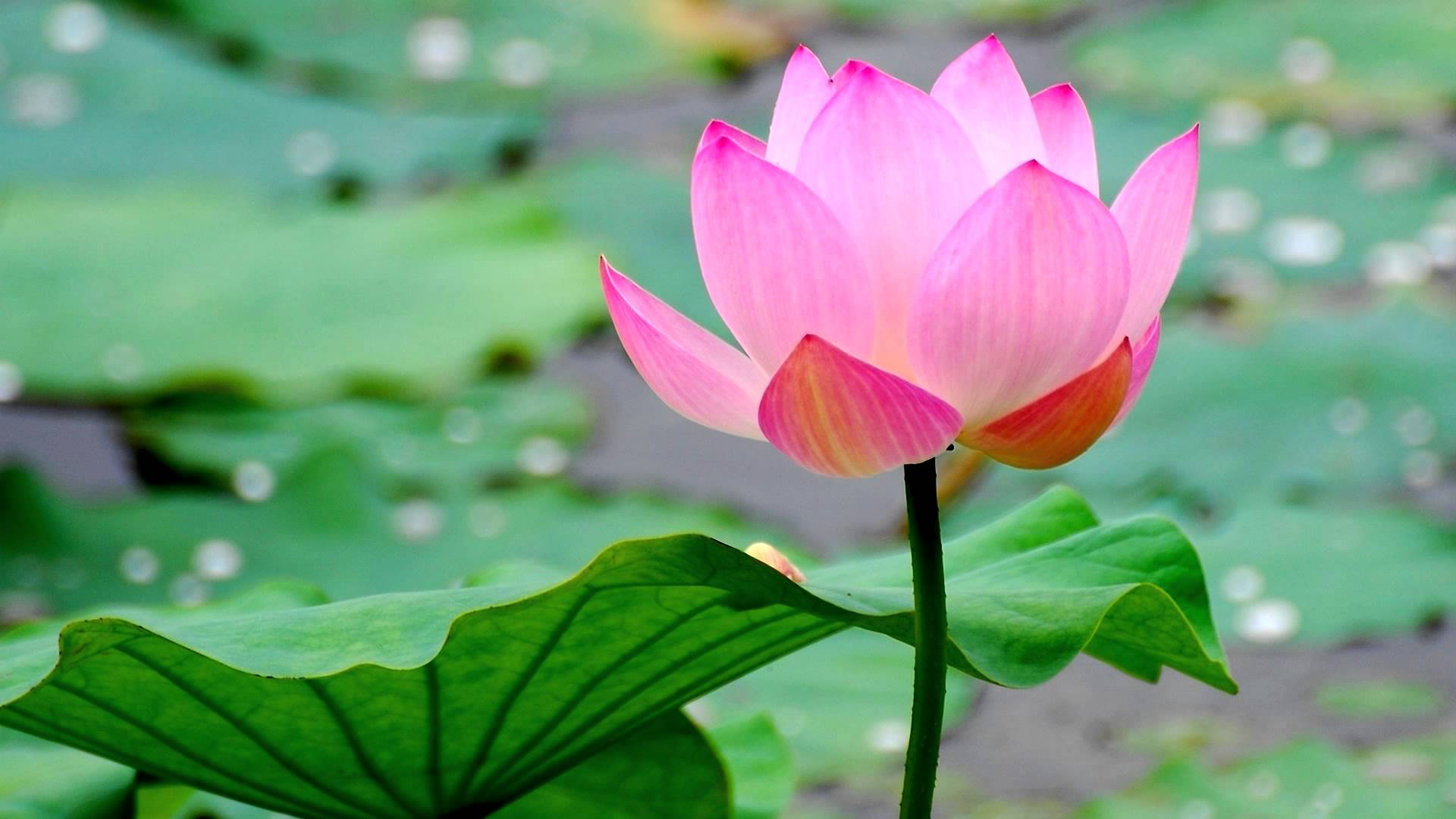 cafecbfed3d-lotus-flowers-pink-flowers-wallpaper-wp3801437