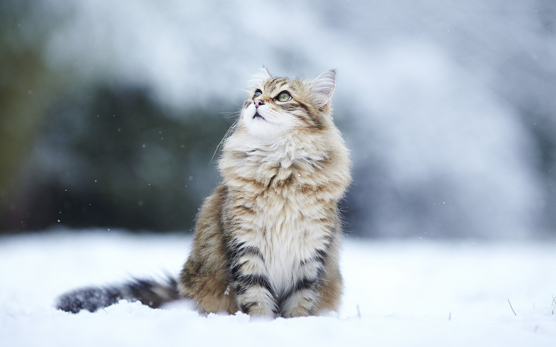 cat-hd-1080p-windows-wallpaper-wp3803665