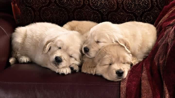 cdaefadadcbffb-golden-retriever-puppies-golden-retrievers-wallpaper-wpc5803127