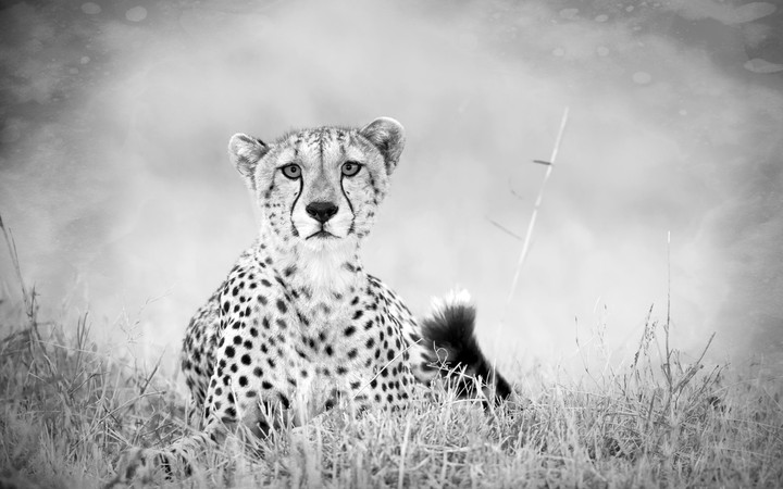 cheetah-savannah-grBeautiful-predator-black-and-white-tail-sadness-wallpaper-wpc9203507