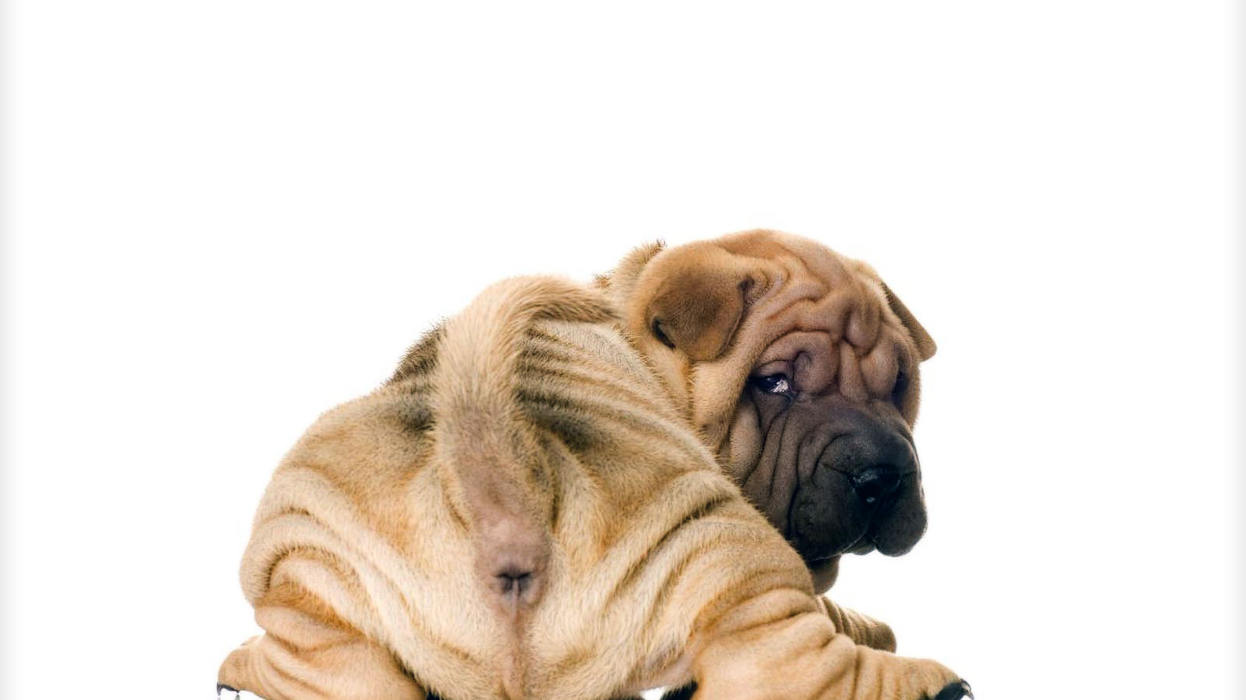 chinese-sharpei-puppy-http-1080-net-chinese-sharpei-puppy-html-wallpaper-wpc5803443