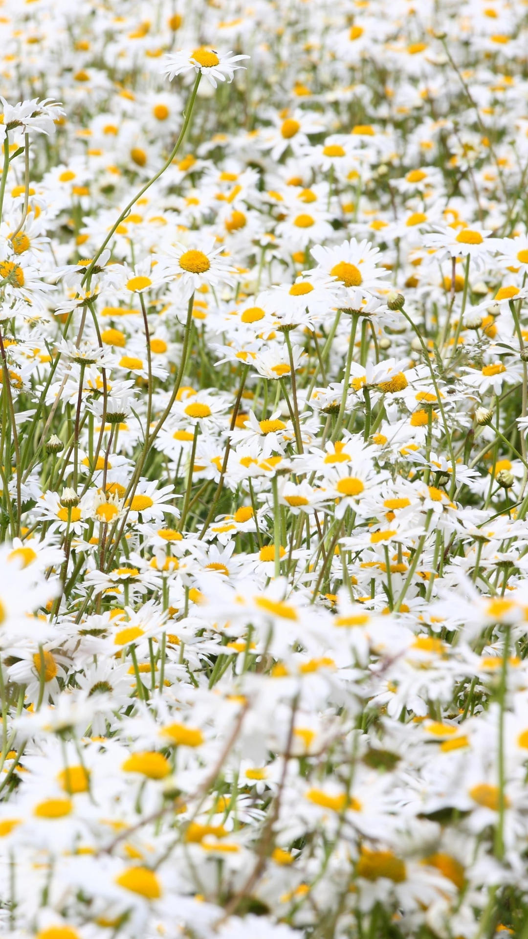 daisies-flowers-field-many-summer-wallpaper-wpc5803902