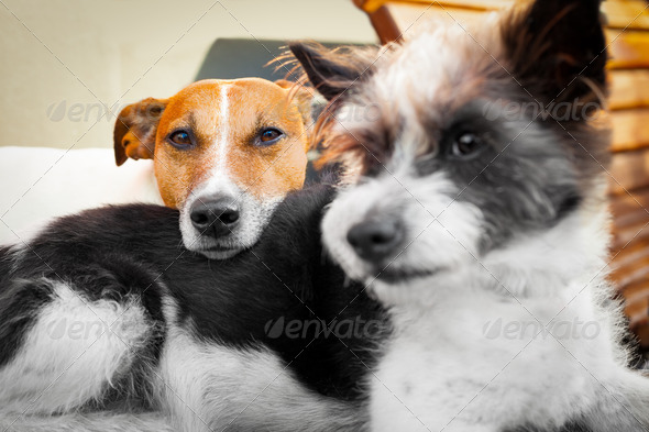 dogs-in-love-Jack-russell-animal-bed-best-caught-in-the-act-close-comfortable-companion-wallpaper-wp3804605