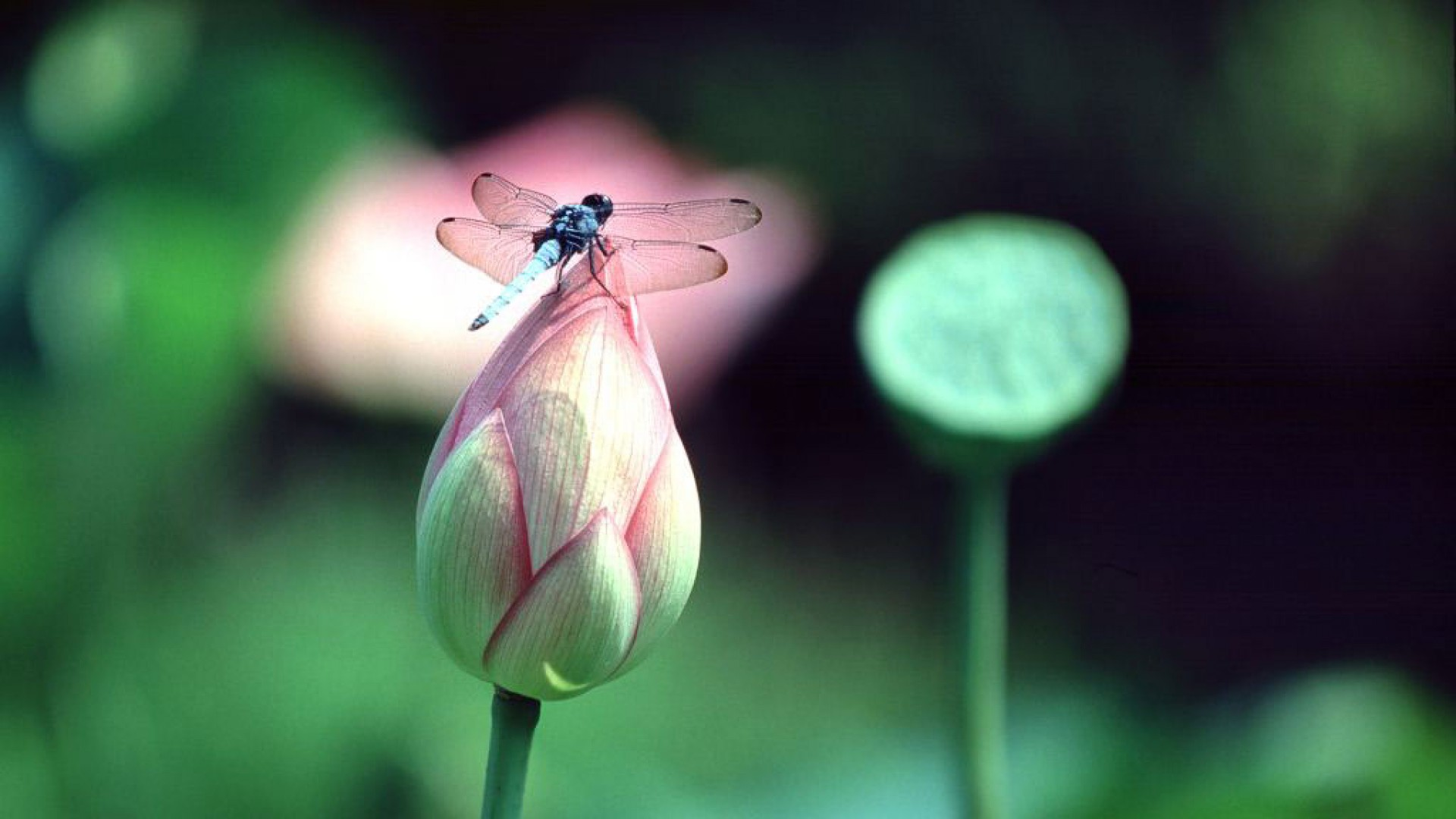 dragonfly-on-lilies-1920x1080-1920×1080-wallpaper-wp3804912