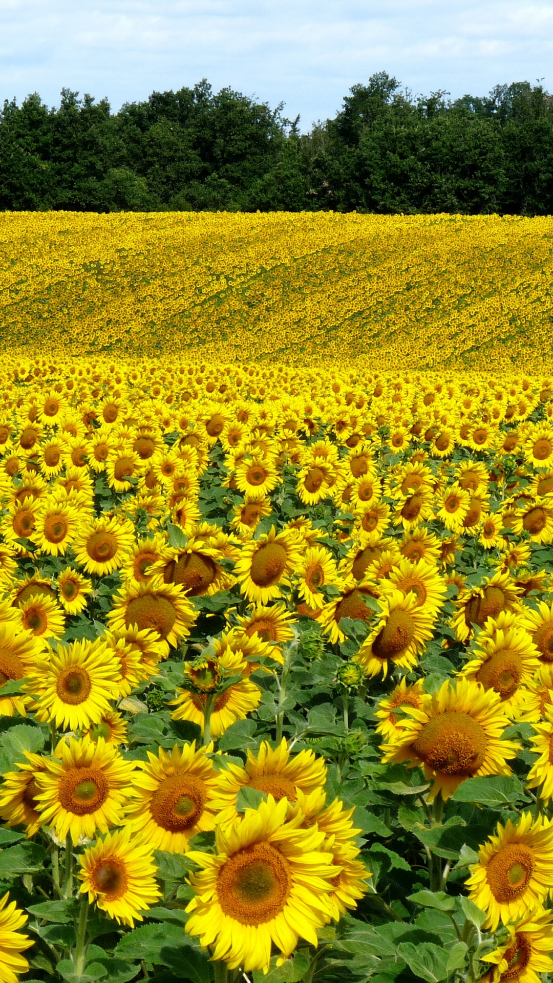 field-sunflowers-landscape-summer-wallpaper-wpc9004920