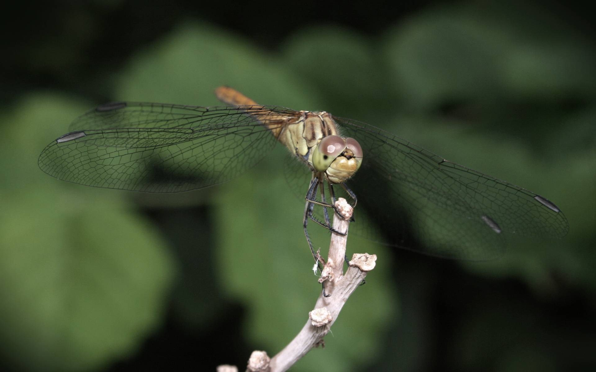free-desktop-downloads-dragonfly-Delman-Bishop-wallpaper-wp3805537
