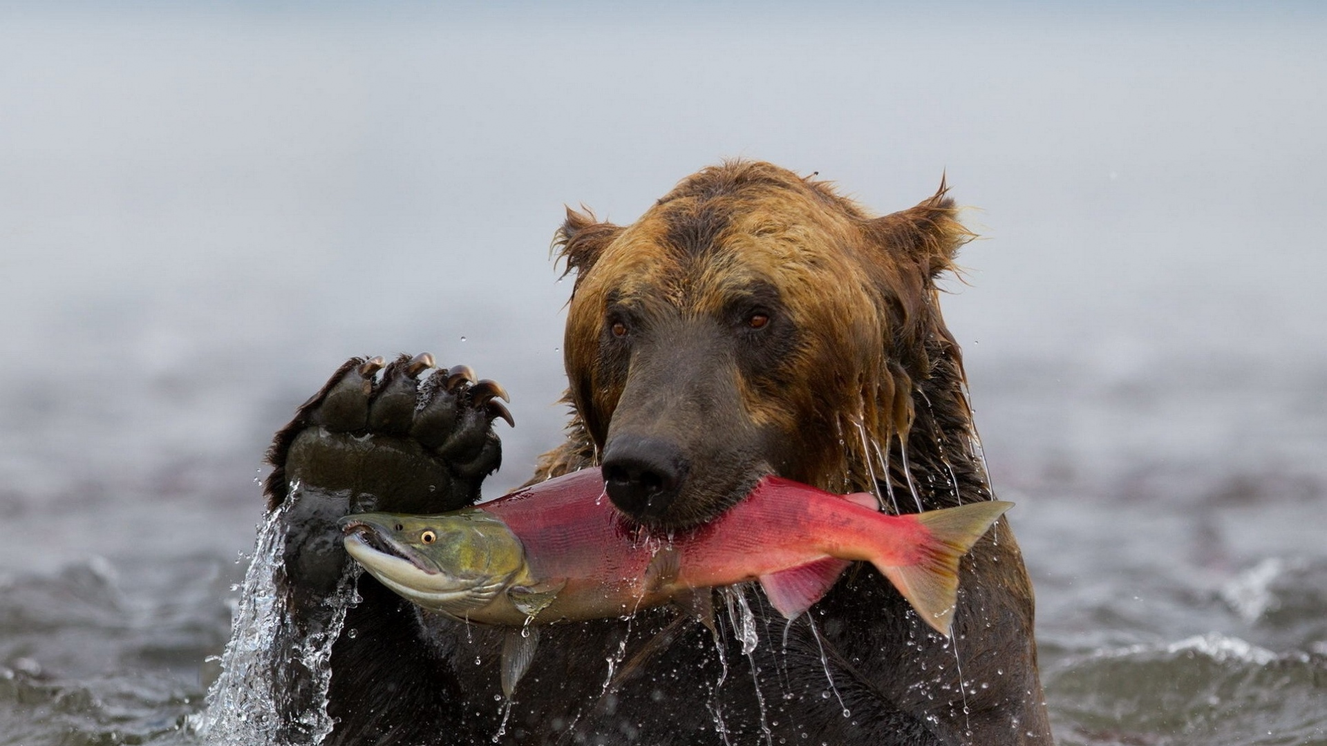 https-craft-com-download-bear-fish-fishing-water-wet-1920x1080-wallpaper-wpc5806121