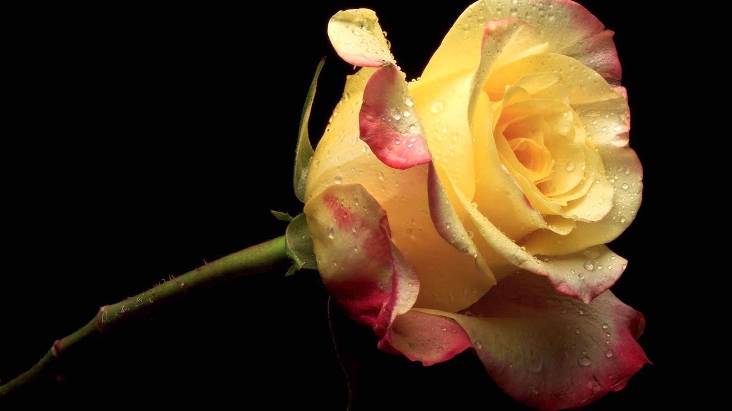 yellow-rose-http-1080-net-yellow-rose-html-wallpaper-wpc58010505